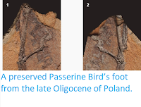 http://sciencythoughts.blogspot.co.uk/2014/03/a-preserved-passerine-birds-foot-from.html