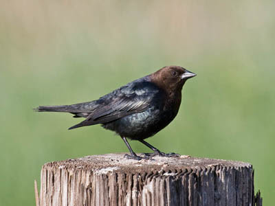 Photo of male Brown-headed Cowbird on wooden fence post