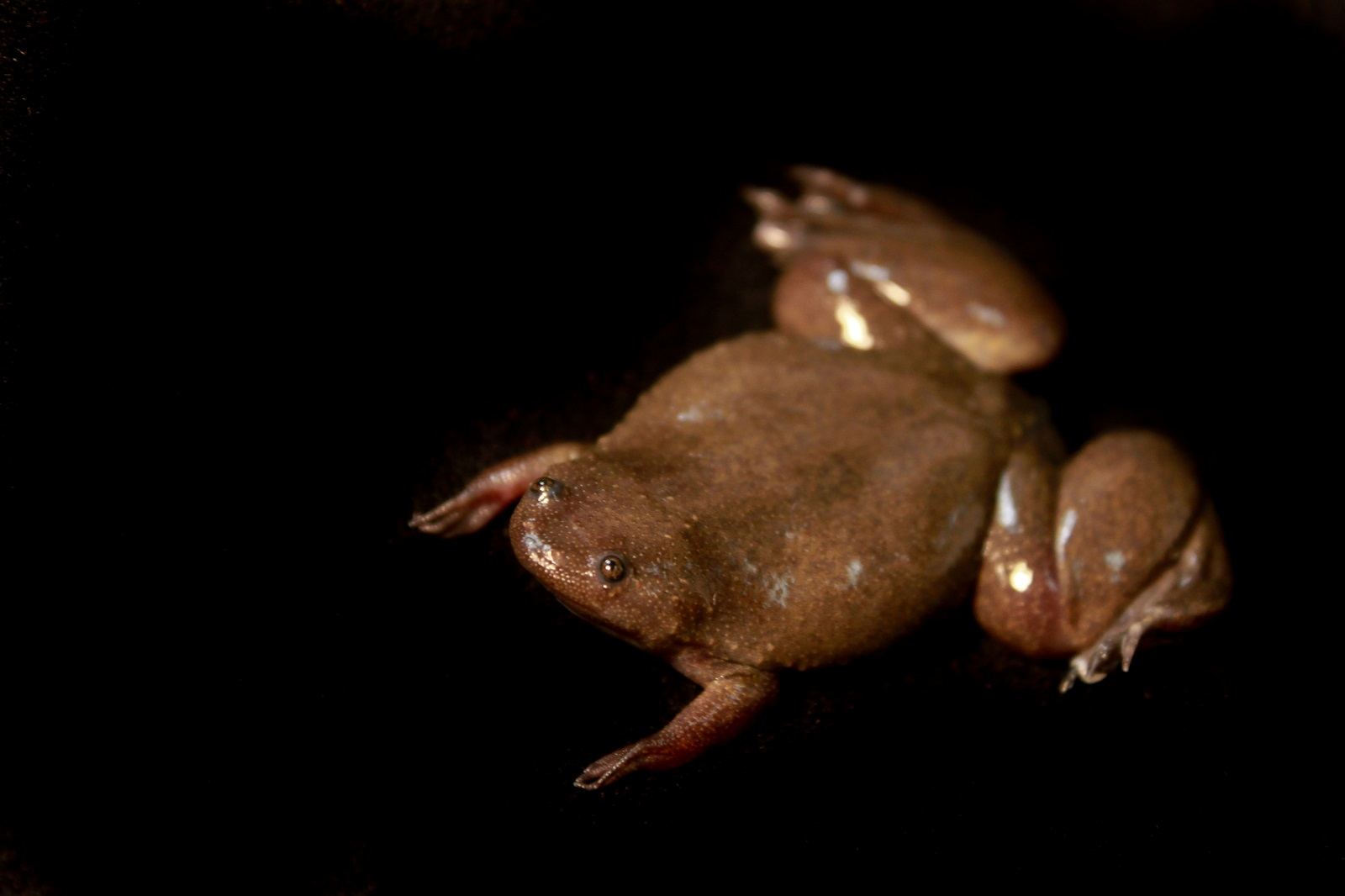 X Ray Xenopus Laevis Frogs