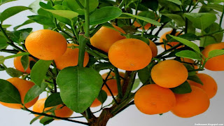 mandarin fruit images wallpaper