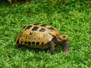 merawat-kura-kura-forsteni.jpg