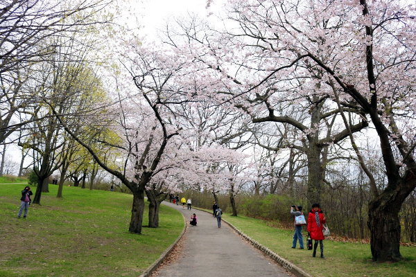 Cherry Blossom Trees - High Park, Toronto - Tori's Pretty Things Blog