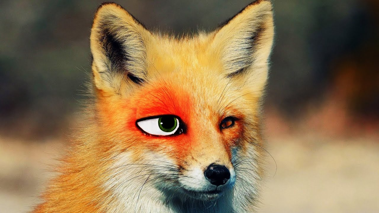 Transforming a Real Fox into Nick Wilde!