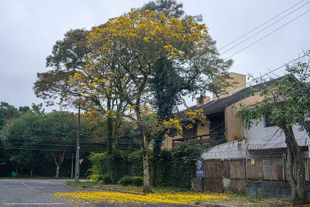 Ipê amarelo florido com tapete de flores derrubadas pelo vento.