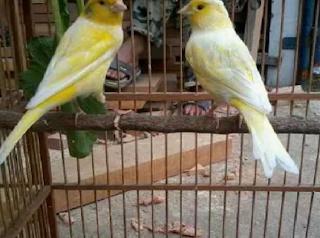 Teknis Beternak Burung Kenari