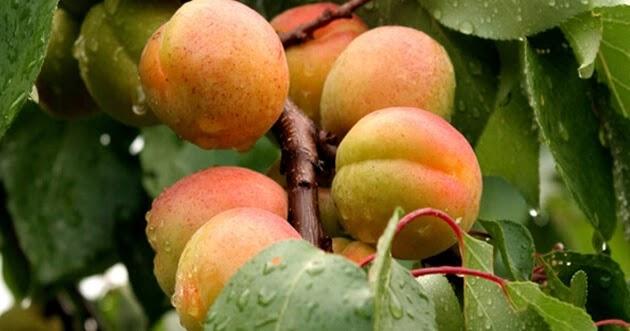 ثمرات فاكهة المشمش على أحد الأغصان على الشجرة