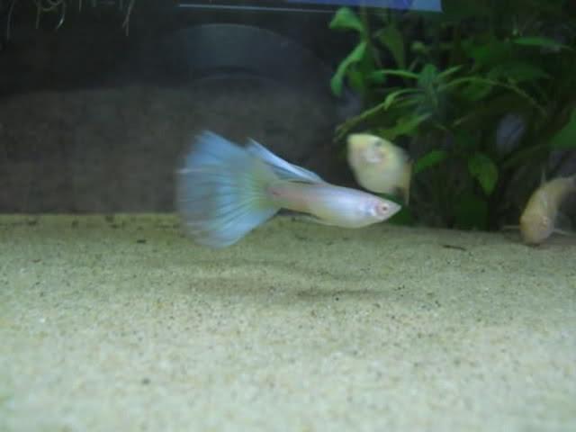 Dunia Ikan Hias - GUPPY BLUE MOSCOW ALBINO
