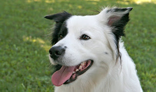 Great Pyrenees Border Collie Mix Temperament, Size, Lifespan, Adoption, Price
