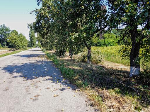 Райполе. Дорога до села. Яблуні і груші