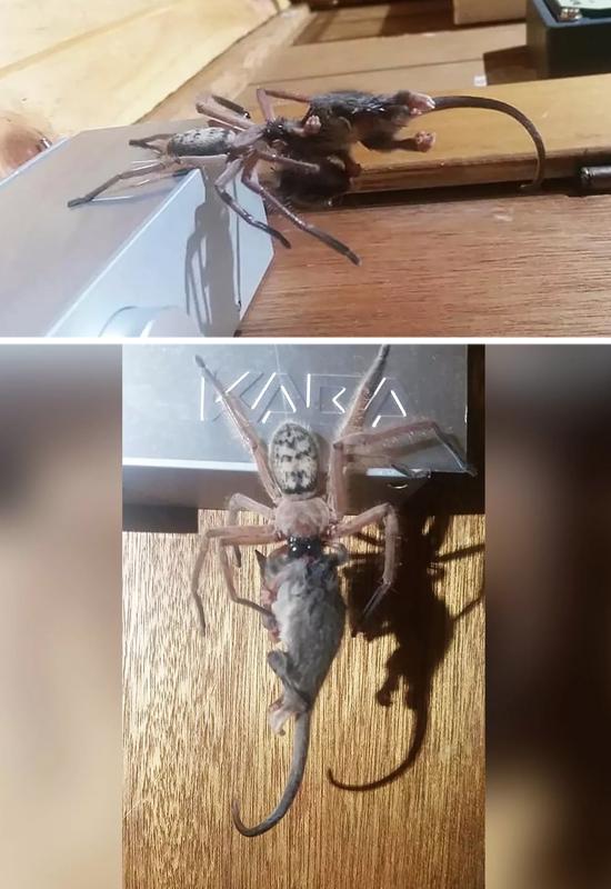 Grande Aranha devora marsupial mais pesado do que ela - Imagens