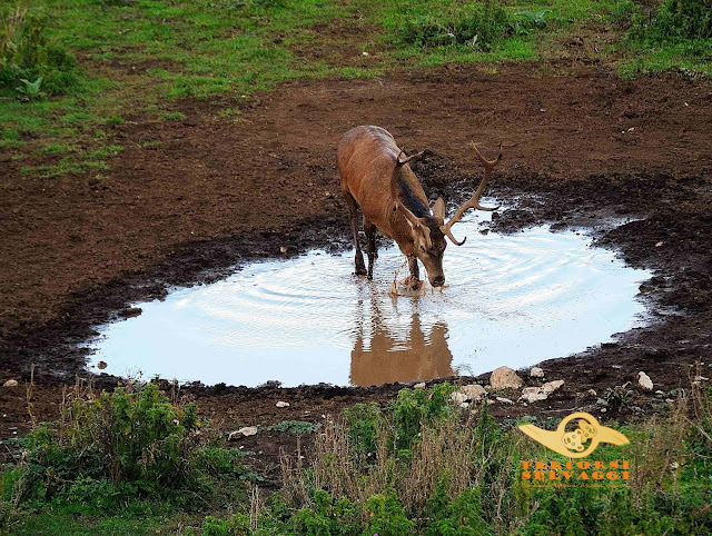 cervo che gioca con l'acqua
