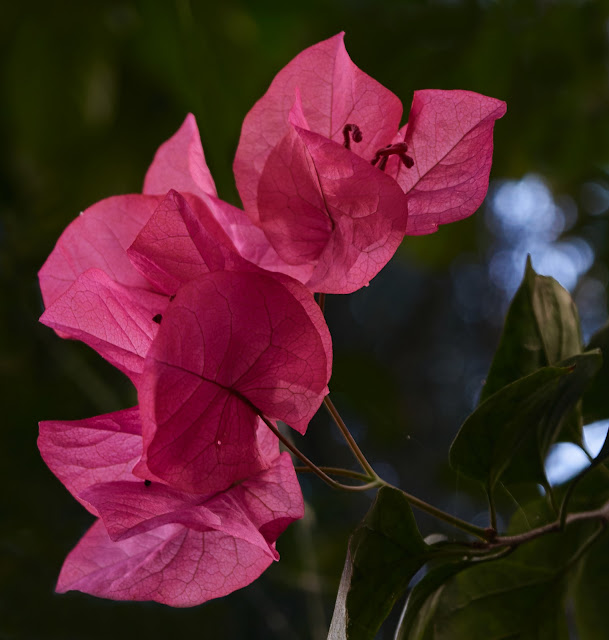Pink Bougainvillea, Philippines,take two