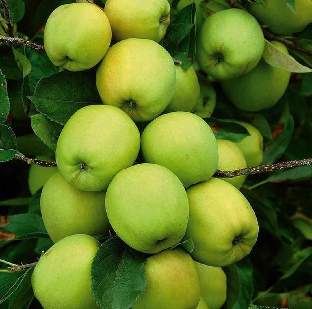 Siap Kirim! Tanaman Buah Apel Manalagi Bibit Pohon Apel Hijau Malang Lokal v0c Kota Kediri #bibit buah