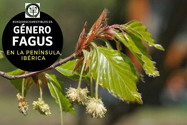 Lista de Especies del Género Fagus, Haya, Familia Fagaceae en la Península Ibérica