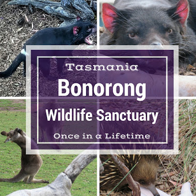 An Unbelievable Visit to Bonorong Wildlife Sanctuary in Tasmania
