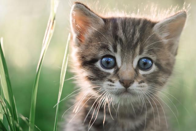 bela kucing sebagai terapi minda, kucing sebagai pengubat stress, cute kitten, anak kucing comel