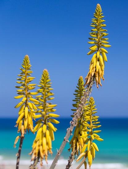 Aloe vera en flor