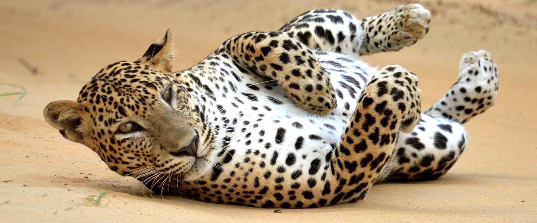Safari ride national park tore agent in Sri lanka