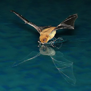 A brown bat flying down to the water's surface to drink. You can see his reflection in the water.