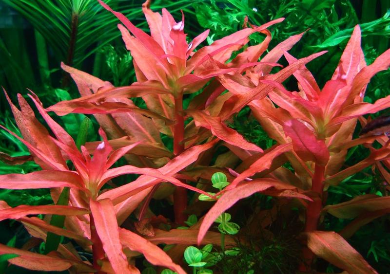 cây hồng liễu có màu hồng bắt mắt trong bể thủy sinh