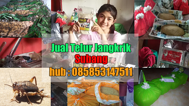 Jual Telur Jangkrik Subang Hubungi 085853147511