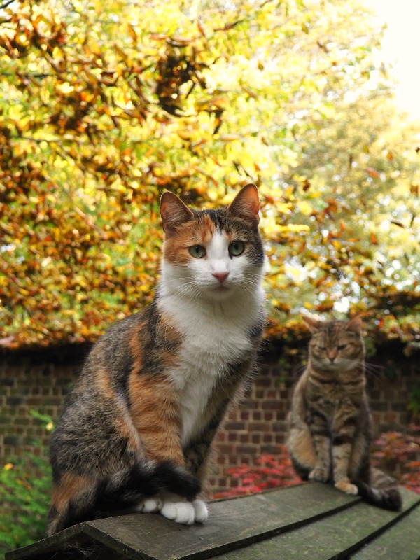 tabby cat autumn pictures
