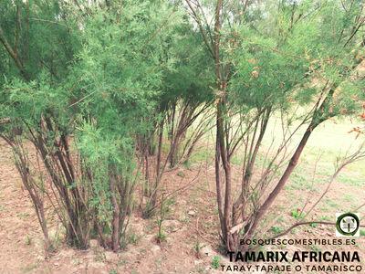 El Taraje o Tamarisco o Taray, Tamarix africana, es un arbolillo de hasta 8 m. de altura