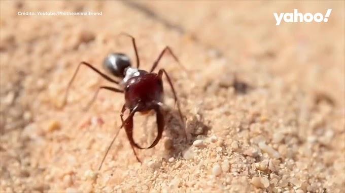 Las hormigas más rápidas viven en el Sáhara a más de 50 grados y alcanzan velocidades de un metro por segundo.