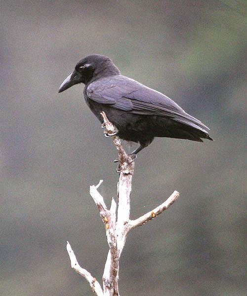Corvus enca