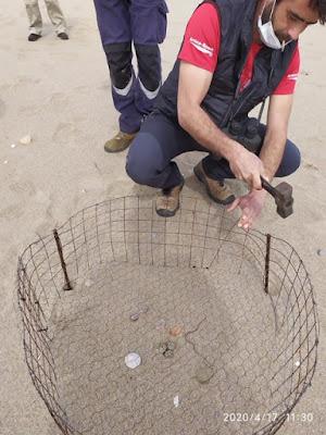 El corriol camanegre nidifica a la platja de Tamarit (Tarragona)