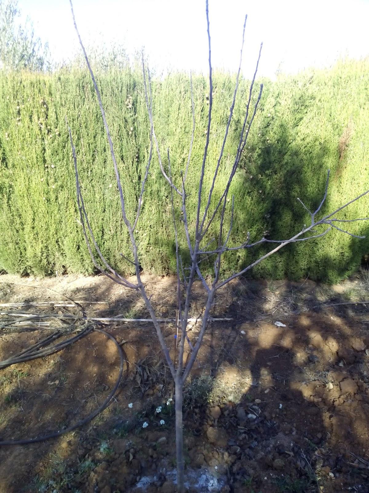 Cultivar el huerto casero la poda del manzano poda de - Poda de hortensias epoca ...