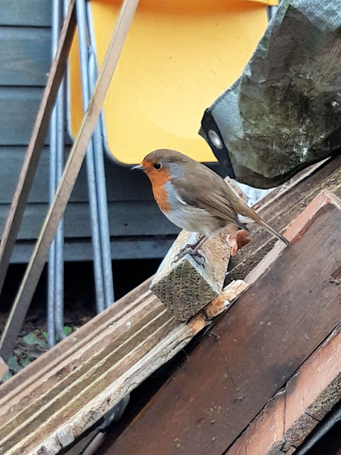 Image shows the same robin on a different piece of wood.  It is getting closer to the photographer