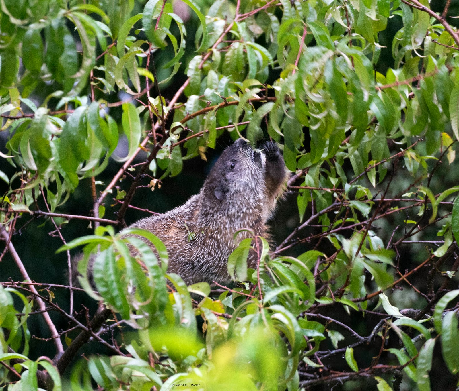 groundhog in neighbor's yard