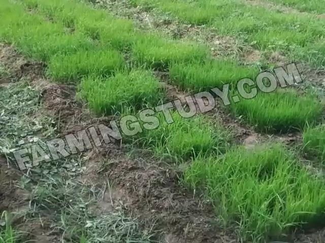 धान की खेती कैसे करें पूरी जानकारी, dhaan ki kheti kaise kare?, ऊंची एवं निचली भूमियों में धान की खेती कैसे करें?, धान की अधिक पैदावार के उपाय, dhan,