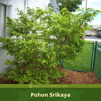 Ciri Ciri Pohon Srikaya