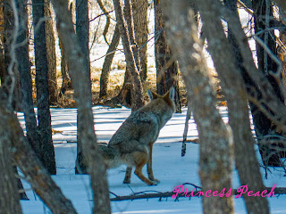 Grand-Canyon-National-Park-Coyote