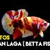 5 Salah Faham Tipikal Mengenai Ikan Laga ( Betta Fish )