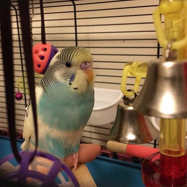 A Little Budgie Told Me: 5  Budgie bonding and taming - The