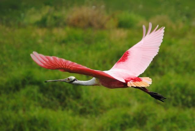 Roseate Spoonbill (Platalea ajaja), Florida's iconic wading bird.