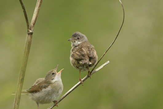 Common Whitethroat feeding young