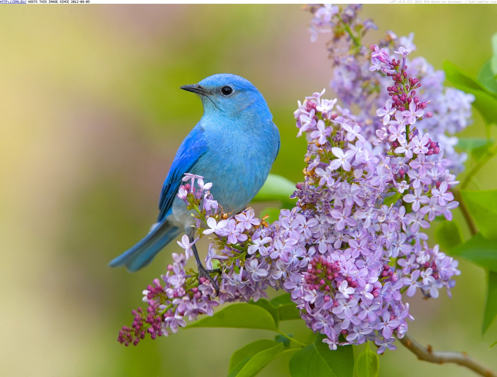 Free Bluebird Wallpaper For Desktop: Beautiful Creations Of God