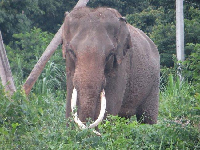 Слон смотрит прям в объектив