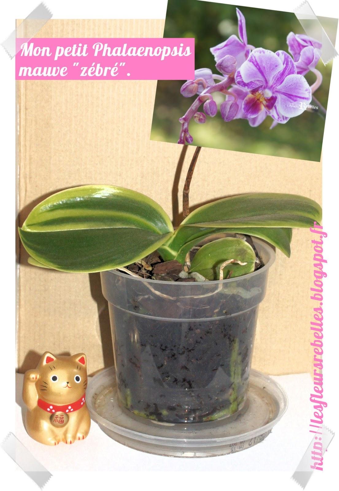 les fleurs rebelles blog lifestyle diy comment arroser ses phalaenopsis sans gaspiller d 39 eau. Black Bedroom Furniture Sets. Home Design Ideas