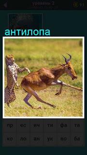 антилопа убегает от хищника, который хочет её поймать и съесть