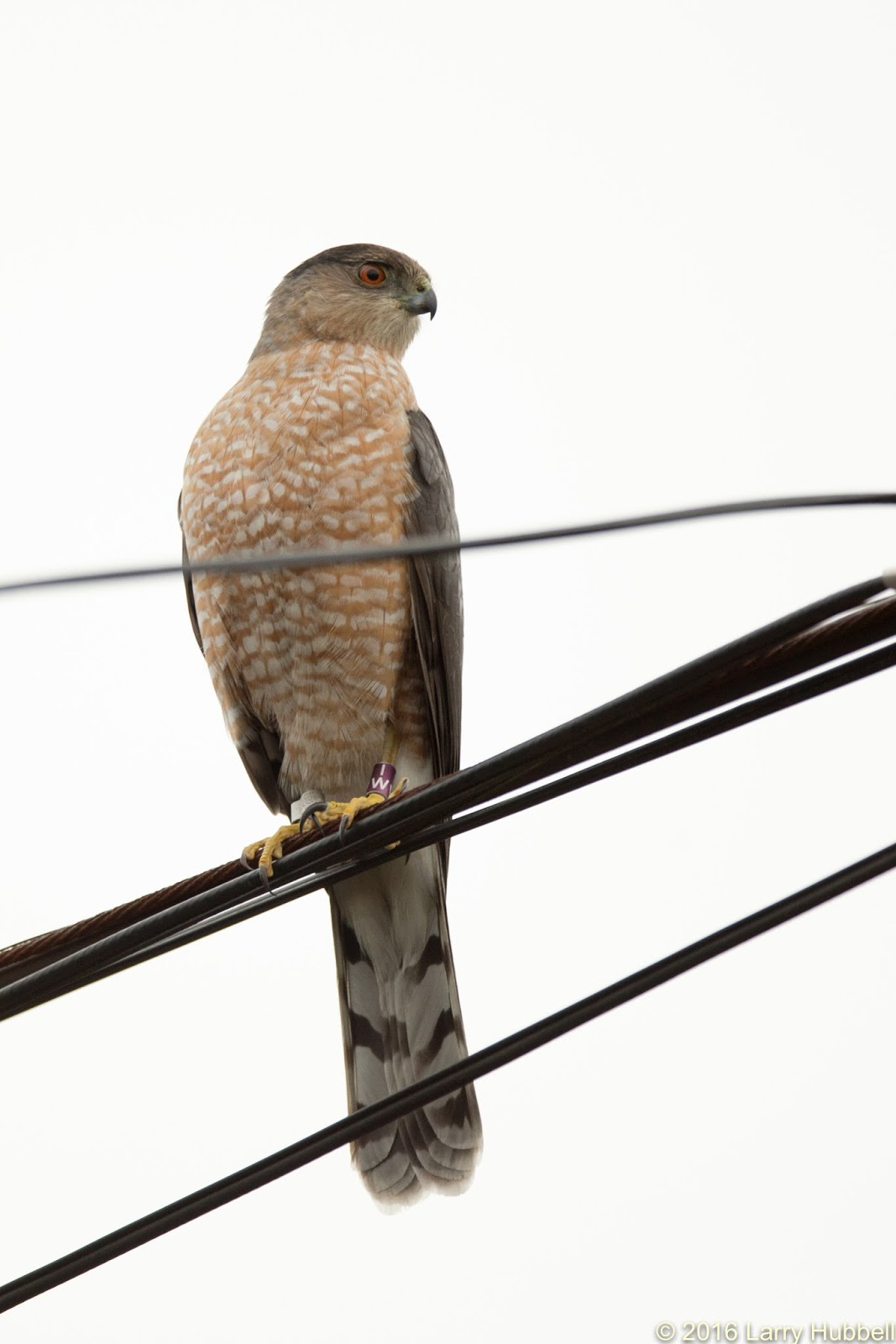 Whats For Lunch Asked Coopers Hawk >> Union Bay Watch A Hawk In The City