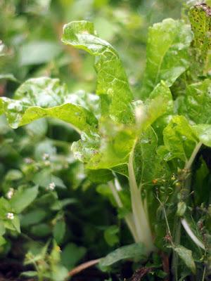 Le ultime piante di bieta.