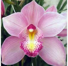 Cymbidium Orhids