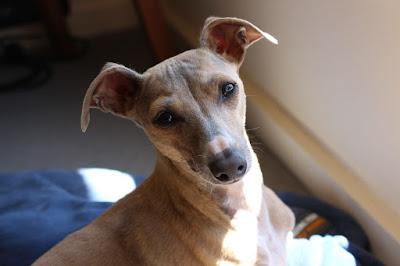 anjing greyhound italia cocok di tempat tinggal yang tidak begitu luas