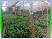Manfaat Plastik Uv - Cara Pembibitan & Pembudidayaan Pepaya Dalam Greenhouse Dengan Naungan Plastik Uv