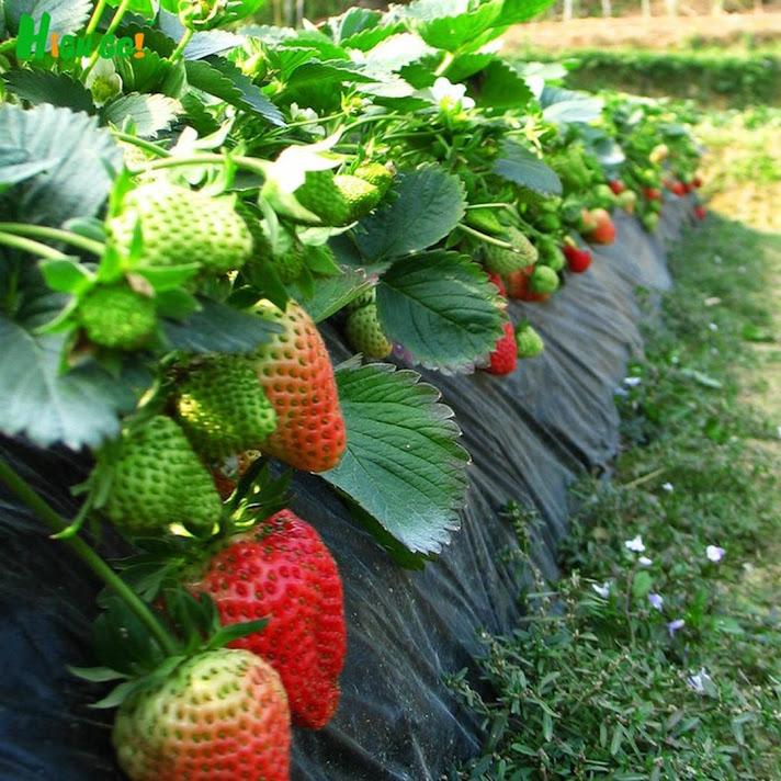 Bibit Tanaman Buah Stroberi Strawberry Sudah Adaptasi Daerah Panas Limited Sukabumi